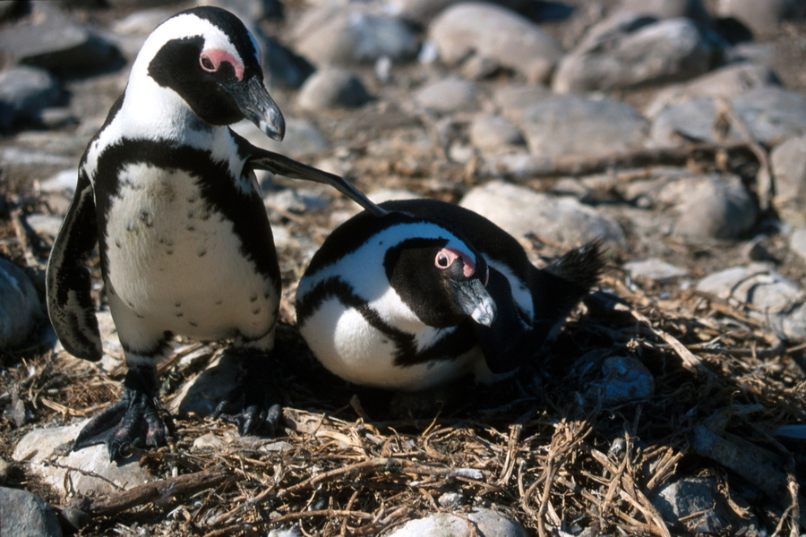 Jackass penguins on their nest (Spheniscus demersus) by Klaus Jost, from the University of Michigan Animal Diversity Web, (CC BY-NC-SA 3.0)