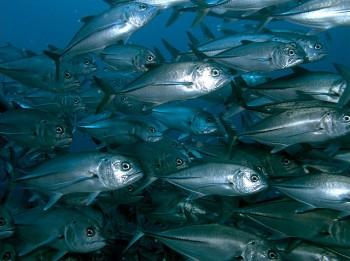 Beautiful school of fish close to Komdo, Indonesia