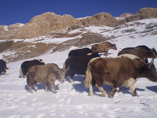Pet Yaks in the Snow (2009)  by Gul Hamaad Farooqi on Flickr (CC BY-NC 2.0)